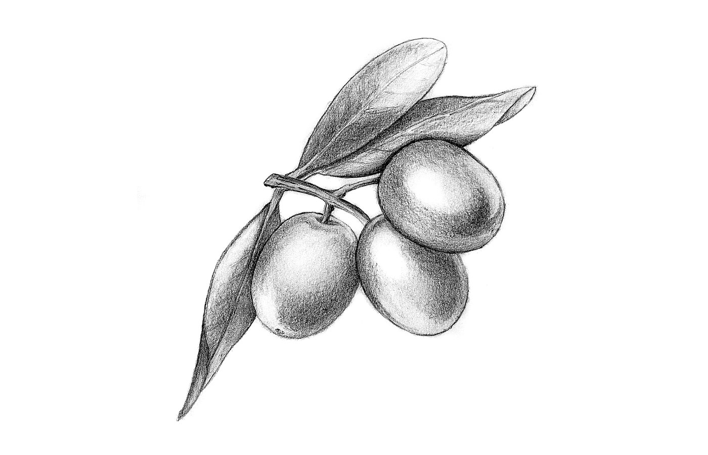 La Bottega illustration oliva